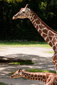 Mother and Baby Giraffe — Stock Photo