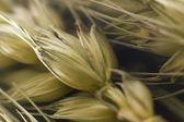 Macro of wheat plant — Stock Photo
