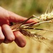 Wheat ears in the hands — Foto Stock