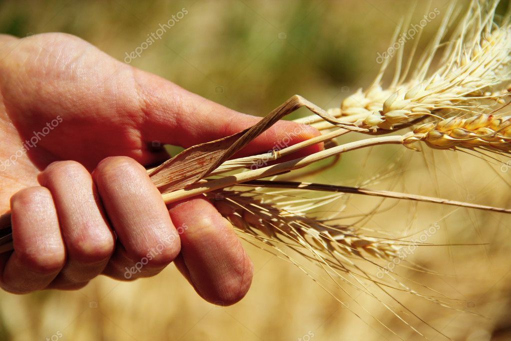 Wheat ears in the hands — Stock Photo #10354860