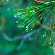 Rain drops on green pine needles — Stock Photo