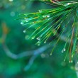 Stock Photo: Rain drops on green pine needles