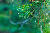 Rain drops on green pine needles — Stock fotografie