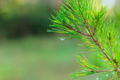 Rain drops on green pine needles — ストック写真