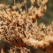 Gray faded flower on a background of autumn grass — Stock Photo