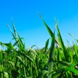Green grass ans blue sky — Stock Photo
