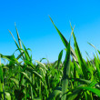 Green grass ans blue sky - Stock Photo