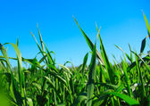 Green grass ans blue sky — Stockfoto