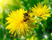 Bee op paardenbloem — Stockfoto