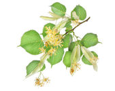 Flowers of linden-tree — Stock Photo
