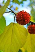 Papermulberry 树 — 图库照片