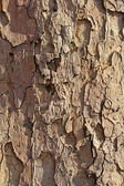 Plane tree bark — Stock Photo