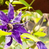 Clematis in bloom — Stock Photo