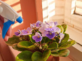 Blossoming violets — Stock Photo