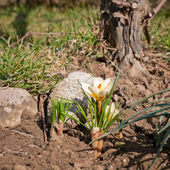 White crocus — Stock Photo