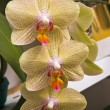 Flowers orchids — Stock Photo #9019498