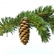 The branch of spruce and cone on white background - Stock Photo