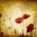 Vintage poppies — Stock Photo