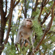 Monkey on tree, jungle — Stock Photo