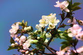 Spring blossom: branch of a blossoming Apricot tree on garden background — Stock Photo