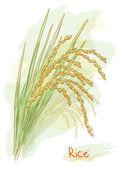 Rice (Oryza sativa). Watercolor style. — Stock Vector