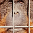 Orangutface watching from behind steel bars — Stock Photo #10231678