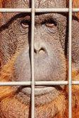 Orangutan face watching from behind steel bars — Stock Photo