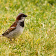 Stock Photo: House Sparrow foraging in green grass
