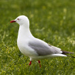 Red-billed Gull foraging in green grass — Stock Photo