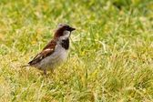 House Sparrow foraging in green grass — Stock Photo