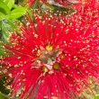 Stock Photo: Closeup blossoms of NZ Christmas Tree Pohutukawa