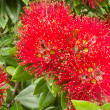 Closeup blossoms of NZ Christmas Tree Pohutukawa - Stock Photo