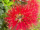 Closeup blossoms of NZ Christmas Tree Pohutukawa — Stock Photo