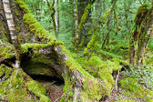 Mossy trunks in a virgin mountain Beech forest, NZ — Stock Photo
