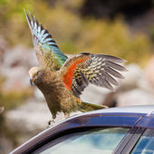NZ alpine parrot Kea trying to vandalize a car — Stock Photo