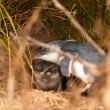Blue Penguins, Eudyptula minor, at hidden burrow — Stock Photo