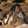 Stock Photo: NZ Yellow-eyed Penguins or Hoiho feeding the young