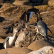 Stock Photo: NZ Yellow-eyed Penguins or Hoiho feeding young