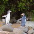 Stock Photo: Juvenile NZ Yellow-eyed Penguins or Hoiho on shore