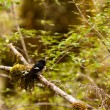 Endemic NZ bird Tomtit, Petroicmacrocephala — Stock Photo #10671430
