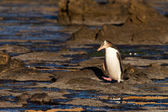 Adult NZ Yellow-eyed Penguin or Hoiho on shore — Stock Photo