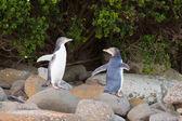 Juvenile NZ Yellow-eyed Penguins or Hoiho on shore — Stock Photo