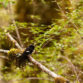 Endemic NZ bird Tomtit, Petroica macrocephala — Stock Photo