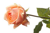 One pink rose — Stock Photo