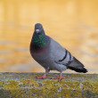 Pigeon — Stock Photo #10259855