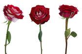 三种玫瑰隔离 — 图库照片