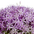 Allium, Purple garlic flowers — Stock Photo #8516435