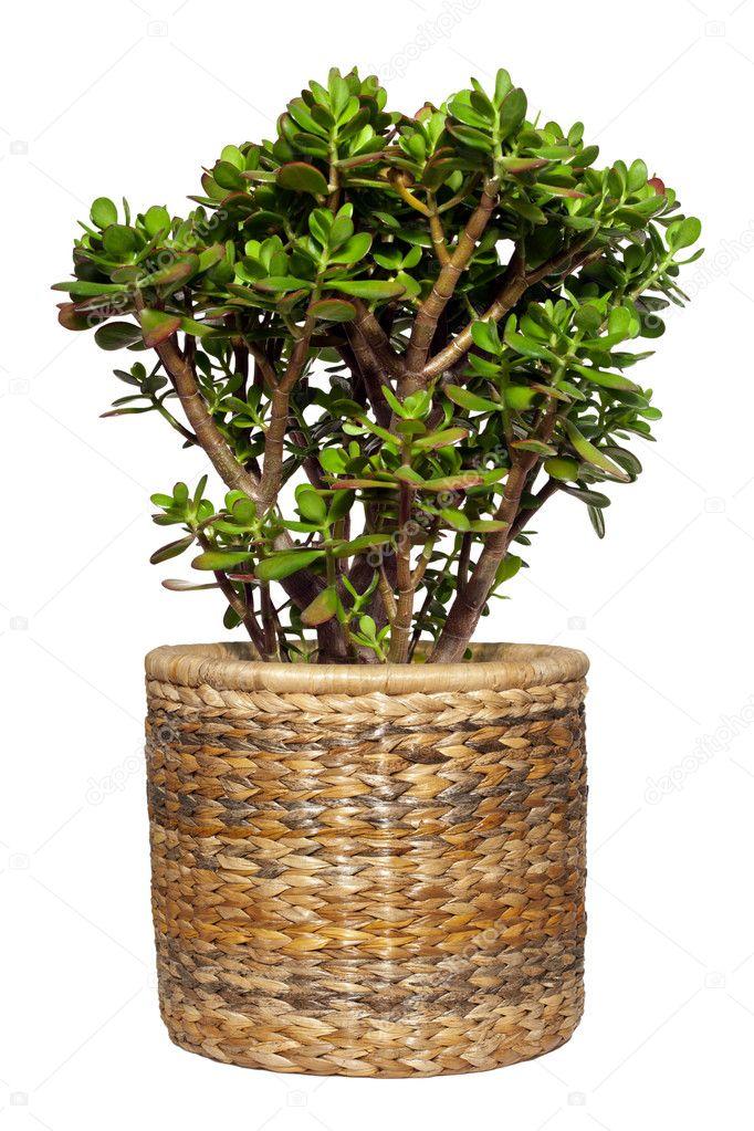 d coupe d 39 arbre plante ou de l 39 argent dollar photographie marischka 8516411. Black Bedroom Furniture Sets. Home Design Ideas