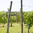 Italy - Piedmont region. Barbera vineyard — Stock Photo