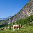 Cows and Italian Alps - Stock Photo